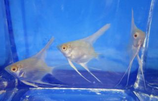 1 Albino Angel Fish for Live Freshwater Aquarium Fish