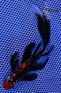 "7 5"" Imported Chinese Veiltail Shubunkin Live Fancy Goldfish Fish Koi Pond NDK"