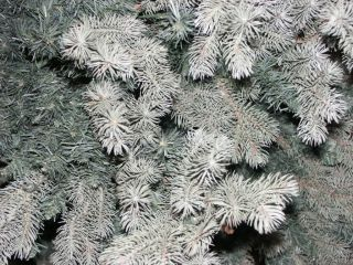 Frontgate Xmas Christmas Colorado Blue Spruce 10' Tree PE Rubber 158 lbs $1000